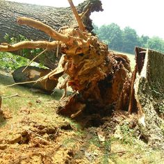 Hazardous trees are dangerous to it's surroundings. It is vital to inspect your trees annually!  A few warning signs of a tree close to uprooting: 1-Ground heaving.  2-Sudden change in degree of lean.  3-Tree has signs of cracks, wounds or root decay.  Have your tree inspected for free by a Giroud certified Arborist. Visit giroudtree.com to schedule an appointment.  #giroudtreeandlawn #treebiz #treeremoval #mapletree #arborist #treeservice  #treecare #welovetrees #hatboro #philadelphia…