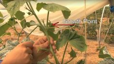 Pruning cucumbers concentrates the plant's energy on producing fruits rather than foliage so giving a higher yield from less space. This article shows how to prune cucumbers. Plant Needs, Raised Garden Beds, Garden Vines, Prune, Plants, Allotment Gardening, Cucumber Plant, Growing Cucumbers, Garden Design