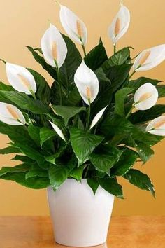 Peace Lily plants are a popular choice for offices and homes as it's considered some of the easiest plants to care for. Coleus 10 Plants That Don't Need Sunlight To Grow Easy House Plants, House Plants Decor, Plant Decor, Indoor Garden, Indoor Plants, Jar Plants, Indoor Flowers, Succulent Plants, Growing Ginger Indoors