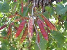 cercis siliquastrum - Judas tree Judas Tree, Plant Growth, Propagation, Certificate, Park, Flowers, Plants, Parks, Flora