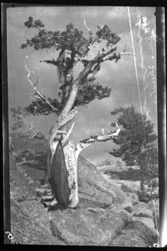 Anne Brigman, The Dying Cedar, 1906