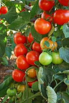 How to Grow Tomatoes. Very good site !