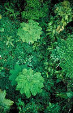 Tropical rainforest canopy with palms and ferns near Cairns, Queensland, Australia. Willem van Aken, © CSIRO