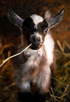 Stunning portraiture of sweetest kid. |I love kid goats. Love!