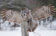 Post time - Great Grey Owl by Jim Cumming on 500px