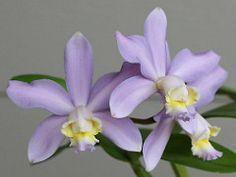 dendrobium auri | Cattleya harrisoniana coerulea