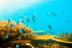 The Great Barrier Reef, Queensland, Australia. For snorkeling activities to experience the wondrous marine life here see: http://www.lonelyplanet.com/australia/queensland/activities/water-sports/outer-great-barrier-reef-dive-snorkel-cruise-port-douglas