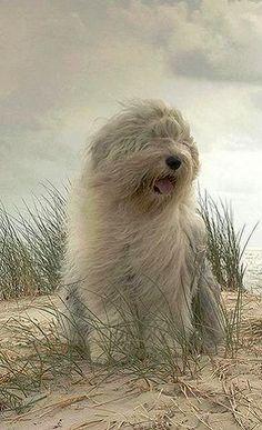 Old English Sheepdog..
