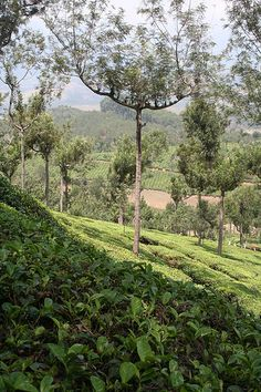 Tea Gardens, Munnar - Kerala. India Kerala India, South India, Beautiful World, Beautiful Places, Tea Gardens, Jungle Life, States Of India, Munnar, India Travel