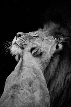 pinterest.com/fra411 #pure #love #lion