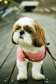Awww she reminds me of my brown and white shih tzu that passed on 09/09/2009 I love her dearly!