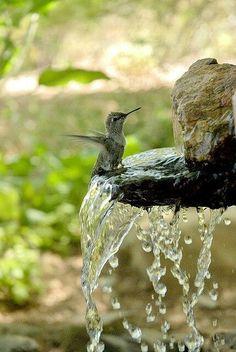 Hummingbird taking a bath