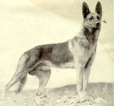 "Strongheart (1917 - 1929) the German Shephard became one of the earliest canine silent film stars of his time, earning a star on the Hollywood Walk of Fame. Some of his movie credits include ""White Fang (1925) and ""Return of Boston Blackie"" (1927). In 1929, while he was filming a scene for an upcoming movie, he slipped and accidentally made contact with a studio light. He was badly burned and died a few days later"