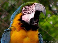 """#Arara-canindé/Arara-de-barriga-amarela-(Ara ararauna) -""""Fundação Zoobotânica de BH"""" - by Caravaggio_Designer, via Flickr"""
