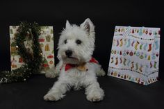 Merry Christmas to all my Followers! White Westie Christmas by www.photo-design-bloch.de