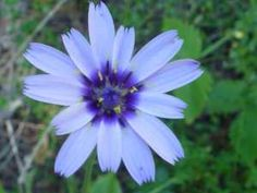 Catananche caerulea - there is nothing like blue flowers in a garden; a whole sea of these would be like a blue lake reflecting the sky.