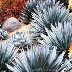 Agave sps.