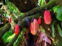 """""""Theobroma cacao""""! #cioccolato #colazionenelmondo"""