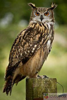 Eagle owl | Eagle Owl Wall Mural