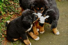 The hound huddle. Cute Puppies, Cute Dogs, Dogs And Puppies, Doggies, Bernese Mountain Puppy, Mountain Dogs, I Love Dogs, Puppy Love, Baby Animals