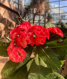 Brighten up your weekend with a trip to the Garden and see flowers like this Crown-of-thorns blooming in our Desert Pavilion. Fence Trees, Crown Of Thorns, Calla Lily, Pavilion, Botanical Gardens, Photo Credit, Brooklyn, Bloom, Nyc
