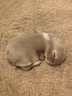 One of my favourite pix of little Minnie. Day 7.  #baby #lop #bunny #bunnies #bun #rabbit #cute #furbaby #fluffy #sleepingbeauty #bunnylove Bunny Pics, House Rabbit, Quotes About Photography, Honey Bunny, Funny Bunnies, Animal Quotes, Bunny Rabbit, Adorable Animals, Rabbits