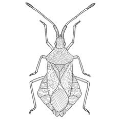 Illustration of Syromastus rhombeus. The true bug belong to the