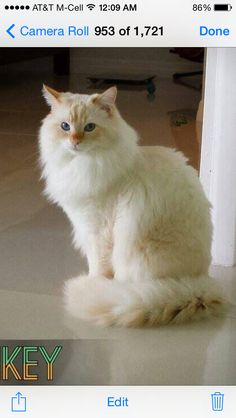 flame point ragdoll kitten simmy ♥  cute cats and kittens