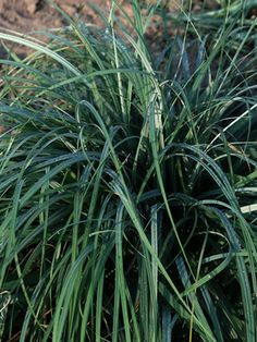 Ideas for shady spots under dogwoods: Carex Blue Zinger