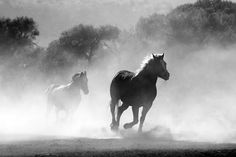 Horses Art On Canvas - Beautiful black and white photograph of running horses on canvas. Cavalo Wallpaper, Horse Galloping, Horse Wallpaper, Laptop Wallpaper, Hd Wallpaper, Horsemen Of The Apocalypse, Running Horses, Tier Fotos, Animals Images