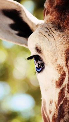 Giraffe Close-Up.