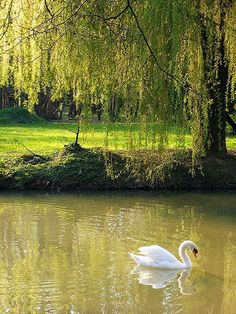 The magnificence of the weeping willow tree and the majesty of the swan... what a perfect shot!