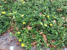Hibbertia scandens groundcover to entry path of apartment 1 and garden beds of apartments 3,4,5,6,7 and 8.