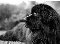 newfoundland dog pictures- beautiful black and white shot of a handsome Newfoundland. Big Dogs, I Love Dogs, Dogs And Puppies, Dog Pictures, Animal Pictures, Terra Nova, Newfoundland Puppies, Dog Paws, Belle Photo