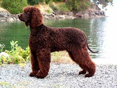 The Irish Water Spaniel was bred in 19th-century Ireland for retrieving waterfowl.  It has immense stamina for swimming and a virtually waterproof coat.  The Irish Water is attentive and gentle with children and easy to train but has never become a popular companion pet, perhaps because it requires so much exercise.