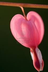 Bleeding heart plant images - Google Search