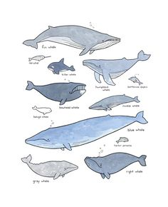 Whales illustration chart print 11x14 watercolor and ink drawing by studiotuesday on Etsy https://www.etsy.com/listing/233013846/whales-illustration-chart-print-11x14