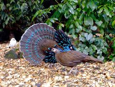 Palawan Peacock Pheasant | Palawan Peacock Pheasant | Flickr - Photo Sharing!