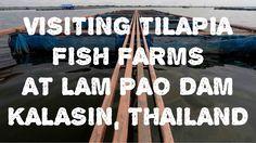 VISITING TILAPIA FISH FARMS AT LAM PAO DAMN THAILAND