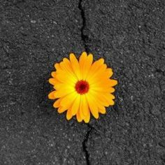Contrast is found in the yellow flower on the black road. Theses hues have intense chroma
