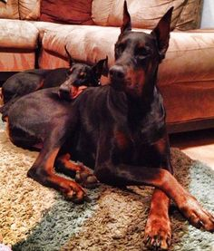 Doberman! The greatest dog ever.