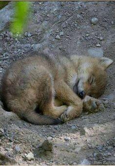 "the-smiling-wolf: ""😊🐺💖 "" Sleeping Wolf, Sleeping Puppies, Sleeping Animals, Rare Animals, Animals And Pets, Funny Animals, Strange Animals, Wild Animals, Beautiful Wolves"