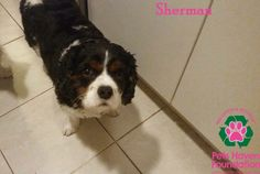 Sherman is at our shelter waiting for his new home