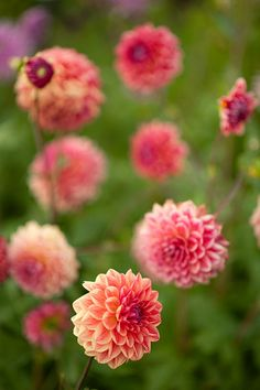 I'm obsessed with Dahlias. Unfortunate they aren't annuals...