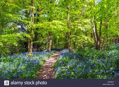 mariners hill Westerham Kent England UK Europe bluebell bluebells flowers spring carpet path wood forest green fresh new Stock Photo