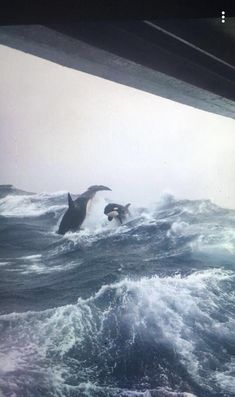 Tagged with orcas; orcas in rough seas from a fishing boat Orcas, Beautiful Creatures, Animals Beautiful, Regard Animal, Animals And Pets, Cute Animals, Strange Animals, Sea Photo, Ocean Creatures