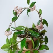 How To Make Hoya Plants Flower