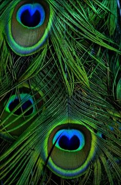 Peacock feathers My Bohemian Aesthetic Peacock Colors, Peacock Art, Peacock Feathers, Green Colors, Green Peacock, Peacock Eggs, Peacock Images, Peacock Pictures, Peacock Painting