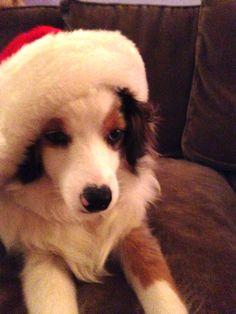 Kora looks like she ate too many cookies, Christmas 2015