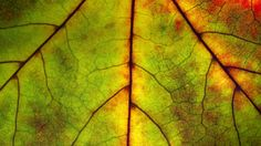 Detail of an autumn leaf (© Funkystock/age fotostock)